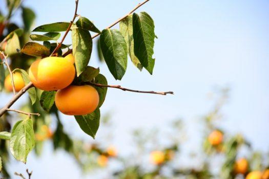 柿の木の剪定時期は?分かりやすい剪定方法とおいしい柿がなるコツ