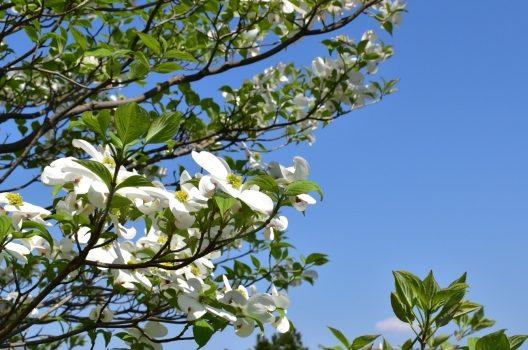 エゴノキとは?華やかな庭木として人気の秘密