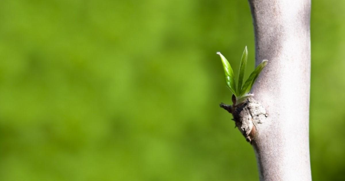 シャラの木の剪定は自分でできる?判断ポイント・剪定方法を解説!