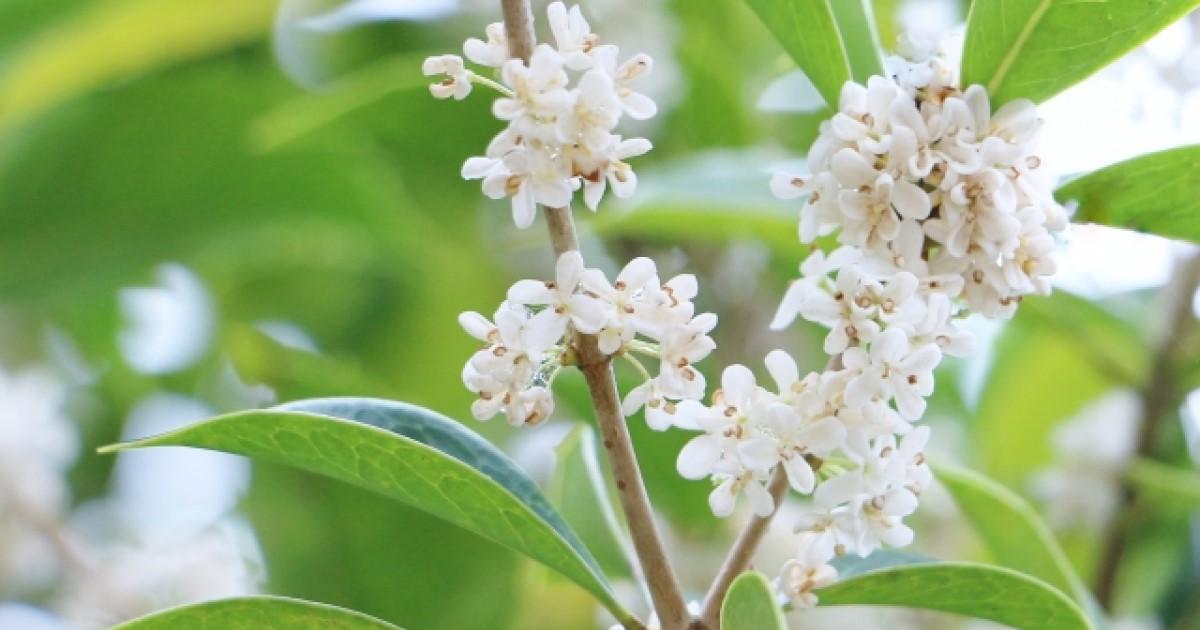 銀木犀の剪定は花が咲き終わってから!正しく剪定して香りを楽しもう