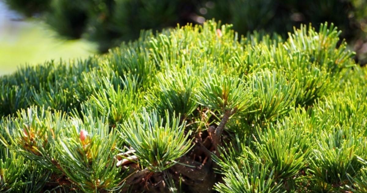 五葉松の剪定ガイド|基本から上級テクまで価値ある庭木に育てるコツ