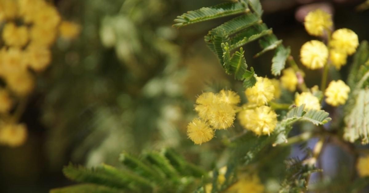 ミモザの剪定は花後の7月までに|剪定方法や花を楽しむコツもご紹介