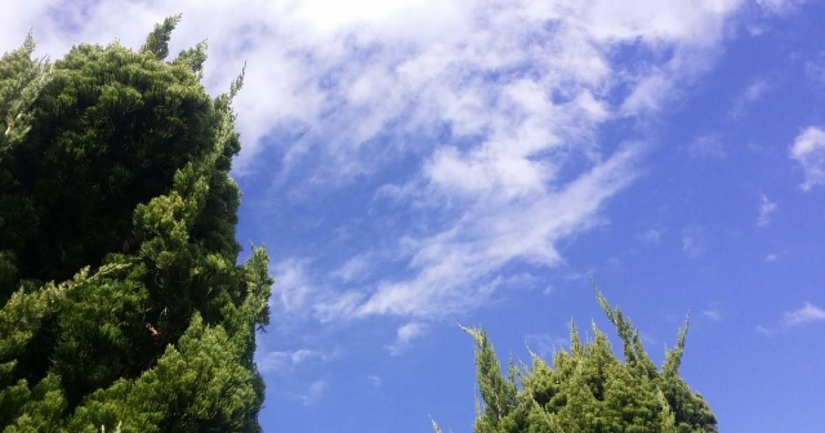 カイヅカイブキ剪定のコツ 育てやすいからこそ樹形にはこだわりたい