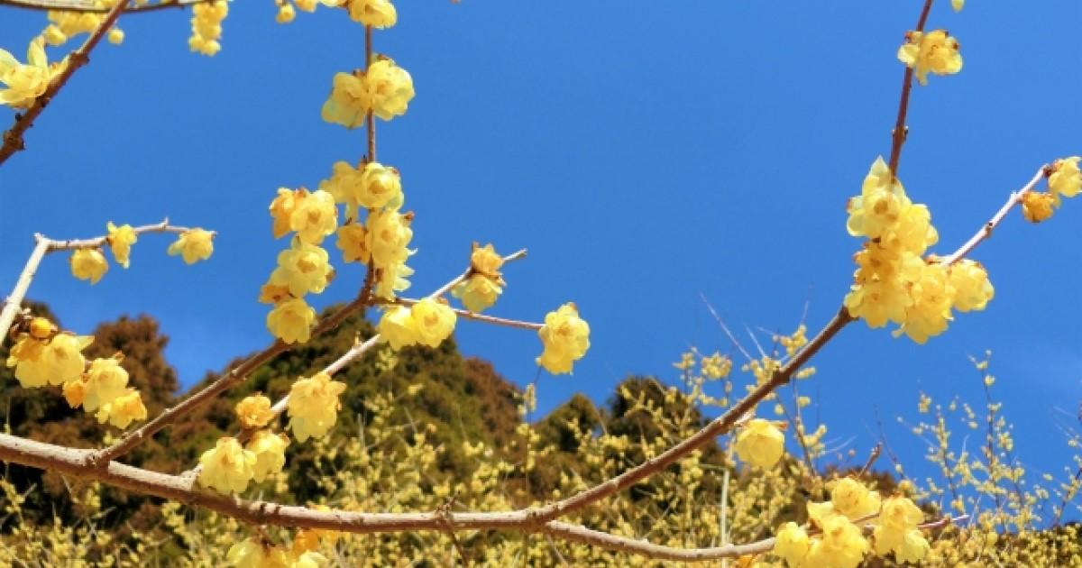 蝋梅は剪定を失敗すると花が咲かない…正しい時期・方法・切るべき枝