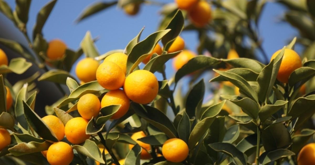 金柑の剪定は正しい方法でやればぐんぐん育つ!収穫に役立つ情報も