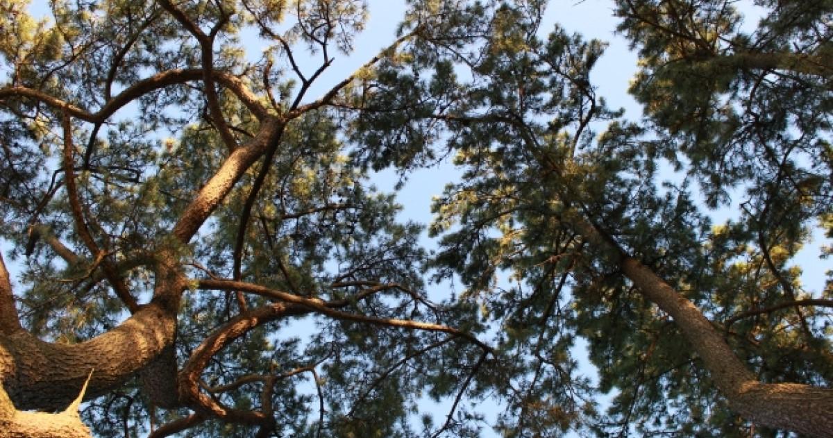 黒松の剪定方法|失敗したくない人へ~美しい樹形に仕上げるコツ紹介