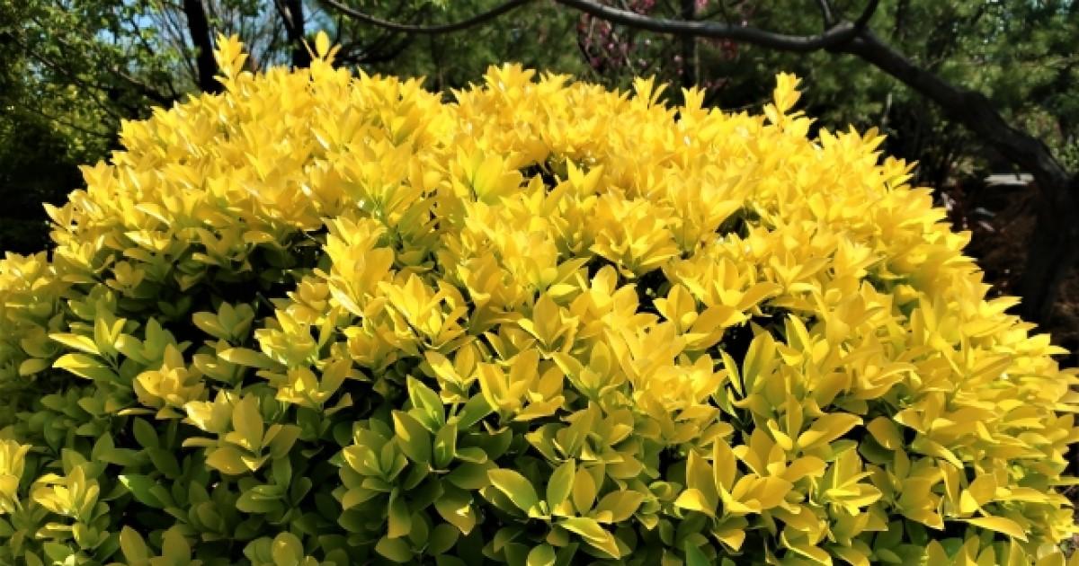 【キンメツゲ】はどんな木?きれいな生垣をつくる5か条を解説!