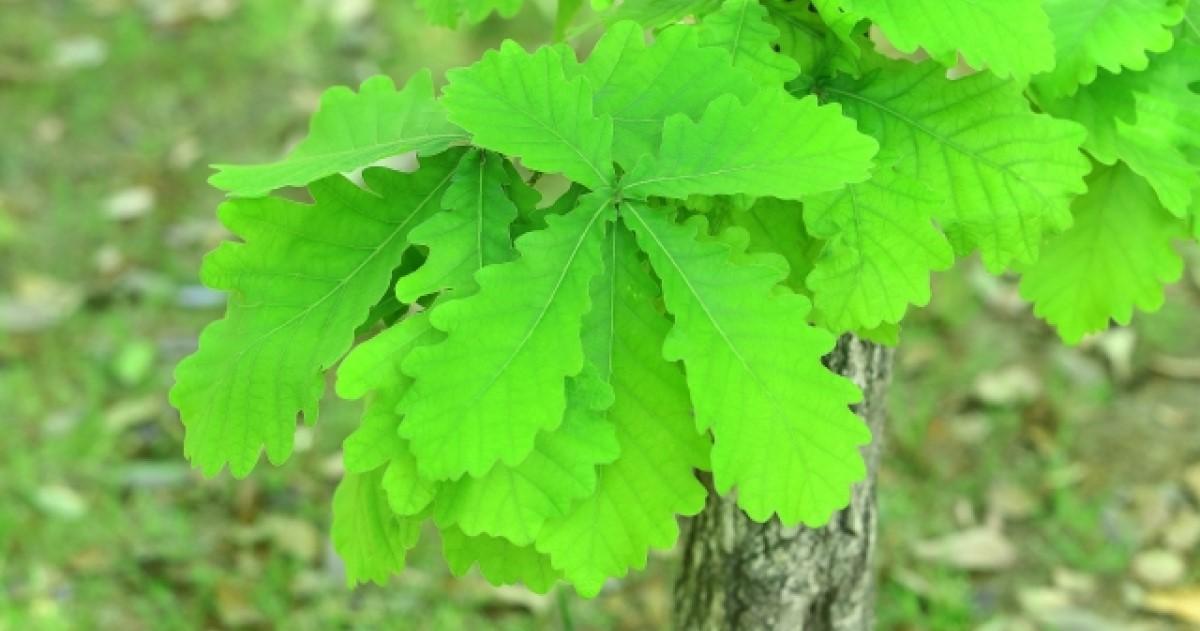 柏(カシワ)の木の剪定・お手入れについて|どんぐりから育てるには