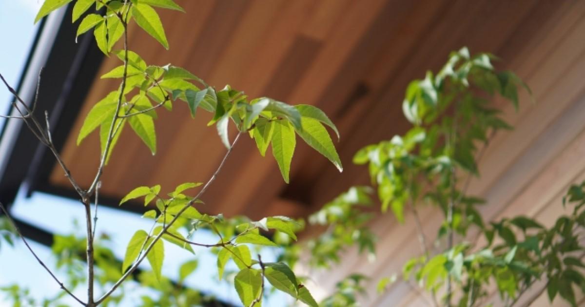 アオダモの剪定は自然樹形を活かそう!手入れが簡単なのが人気の理由