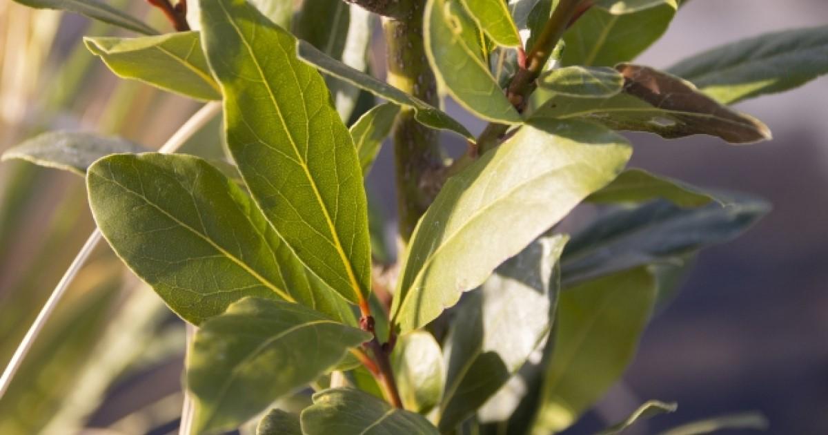 月桂樹の剪定に適した時期や方法は?収穫した葉っぱの使い方もご紹介