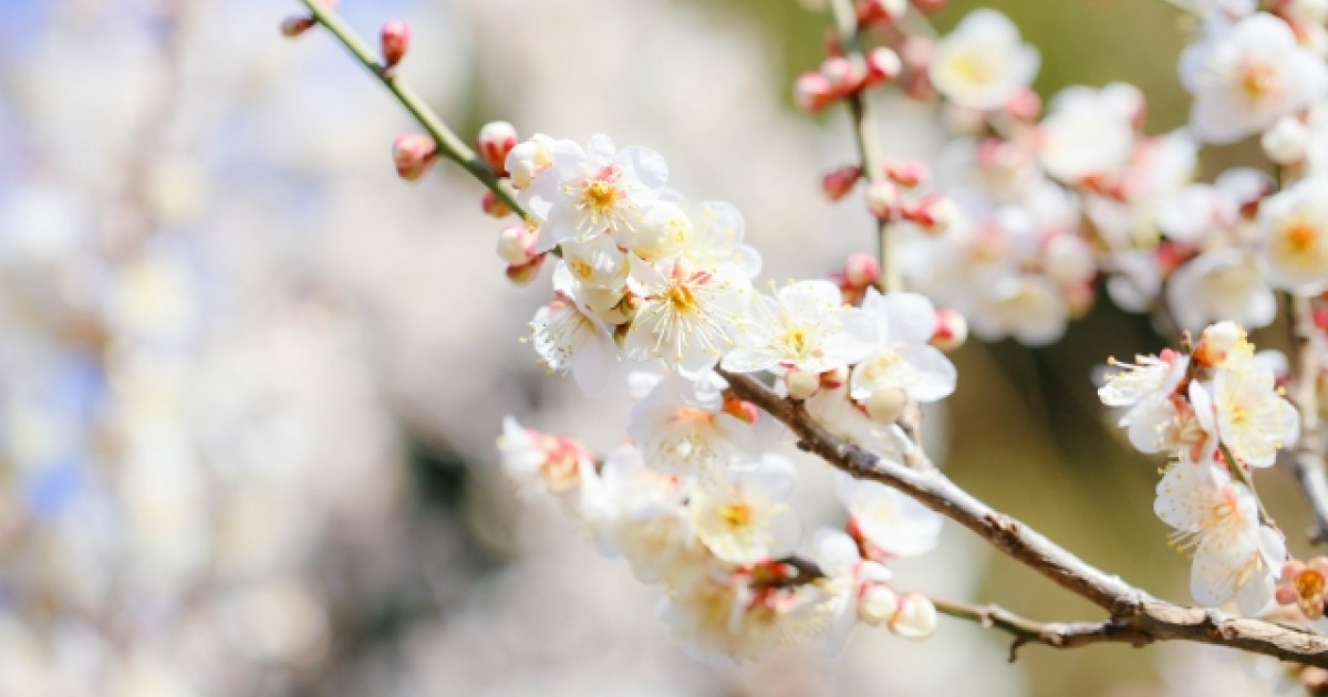 梅の木が病気に?症状別に病気を解説、治療方法や予防についても