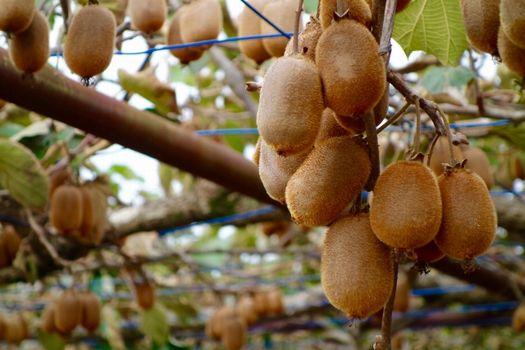 キウイの剪定方法と時期 枝の絡まりを防いで美味しい実を育てよう!
