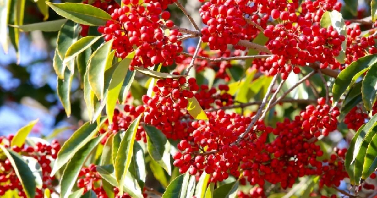 南天を剪定して毎年赤い実を楽しもう!剪定の役割から方法をご紹介