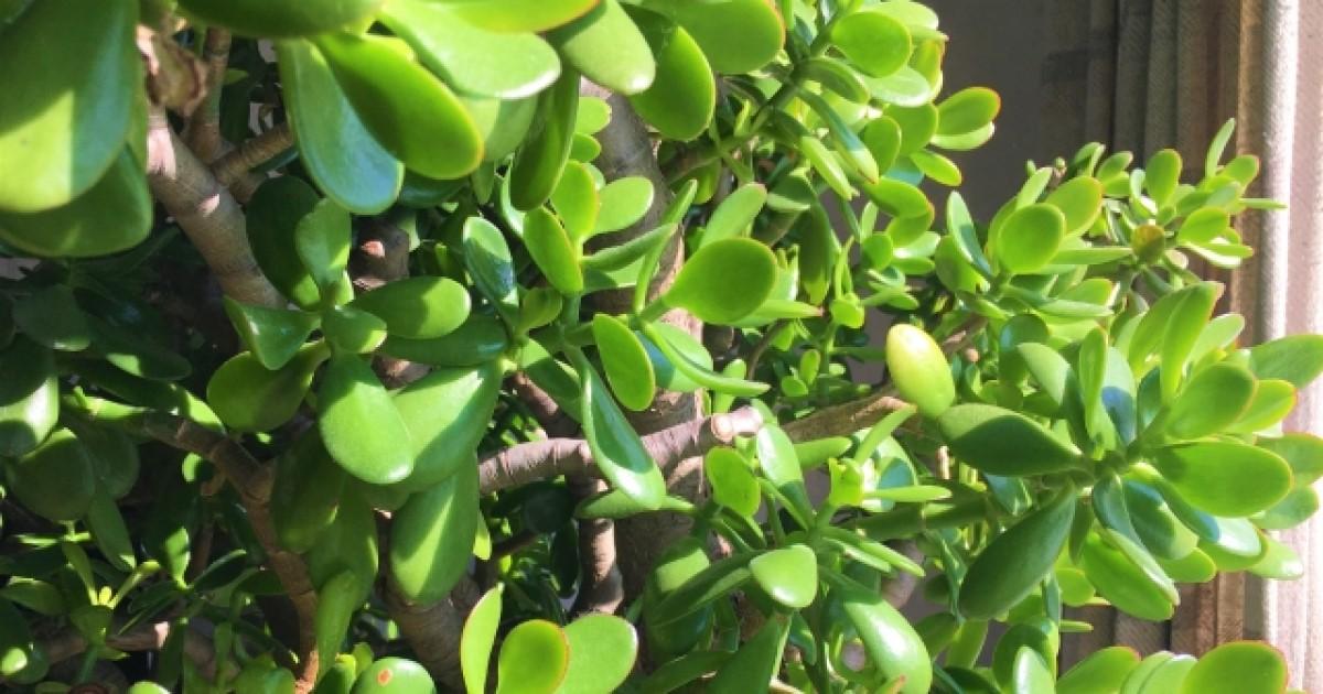 金のなる木を剪定して美しく育てよう!剪定時期や方法をご紹介します