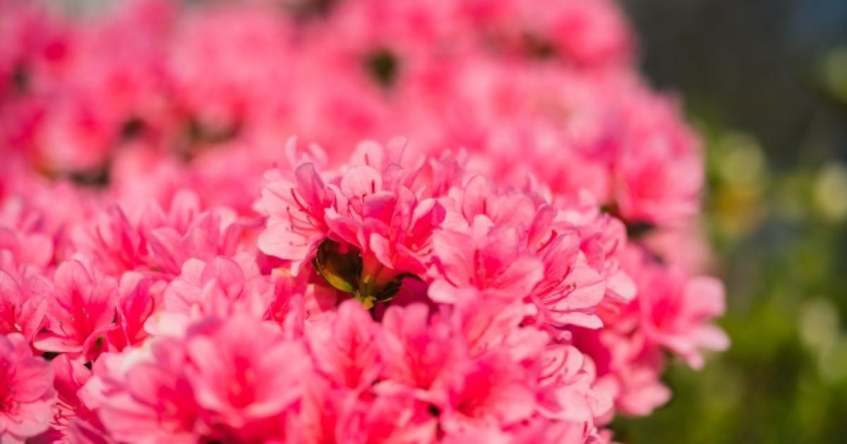 つつじの育て方のポイントは日光!正しいお手入れで花を咲かせよう!