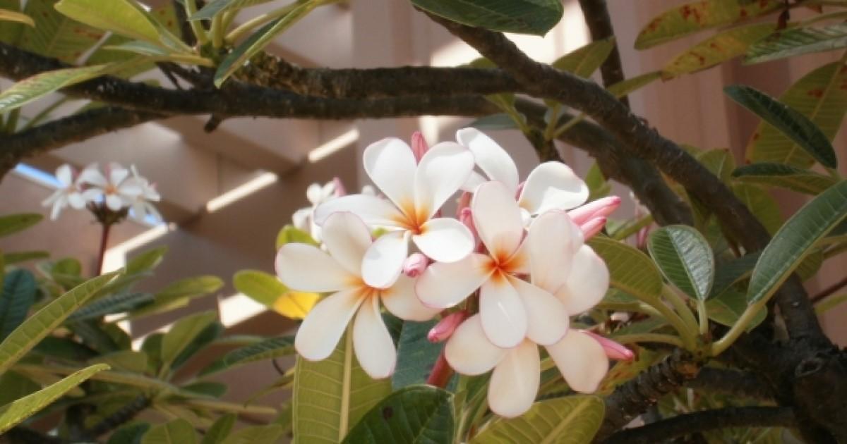 【プルメリアの剪定】3つの目的と方法|花を咲かせる正しい育て方