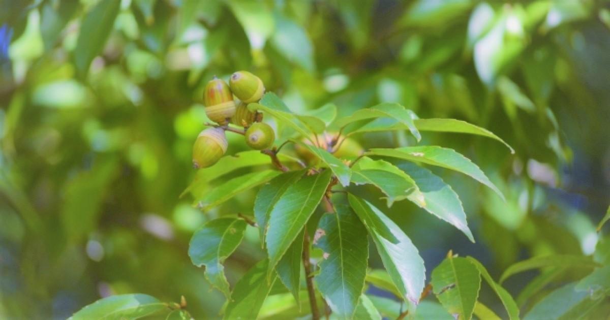 樫の木の剪定は暖かい時期に!剪定の注意点・業者選び方を紹介します