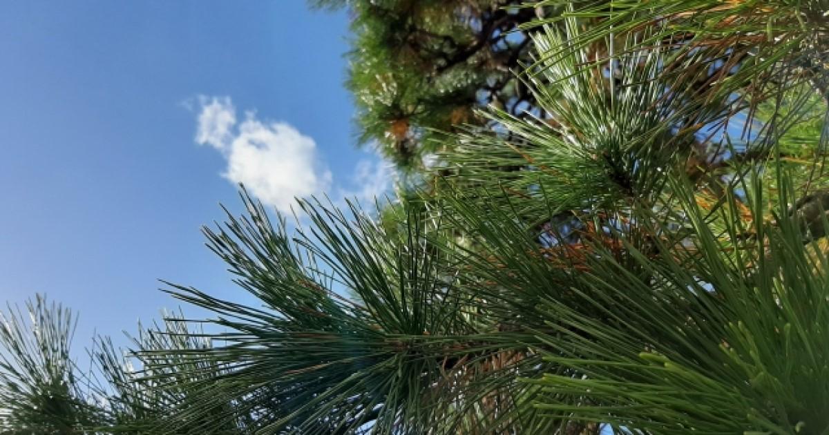 松の透かし剪定|切る際のコツと適期は?季節によって違う松の剪定