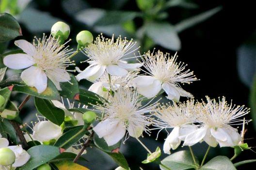 ギンバイカの剪定は【時期】が重要!花を咲かせる正しい育て方は?