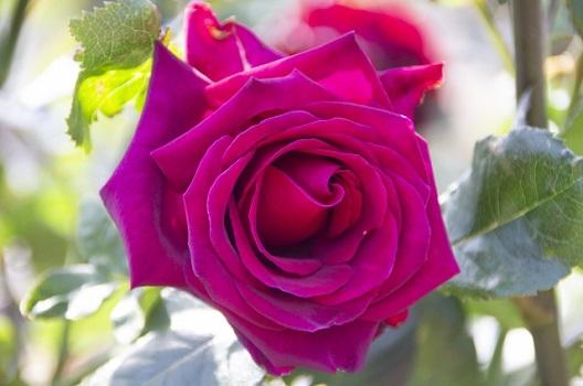 四季咲きバラの剪定方法