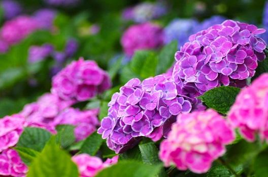 の 剪定 時期 の 紫陽花