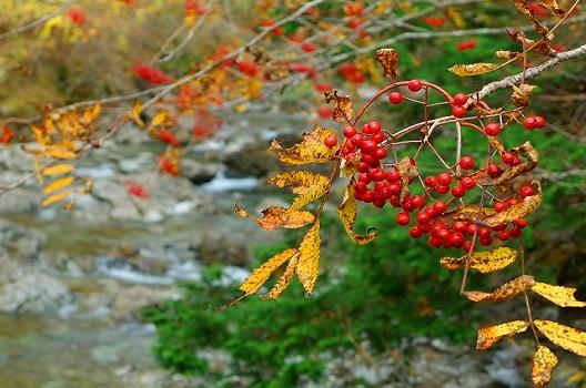 一度赤い実をつけた枝は1~3年は実がつかない