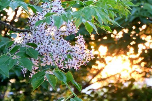 栴檀の木の剪定は冬に!手入れ・育て方・花と実についても紹介します