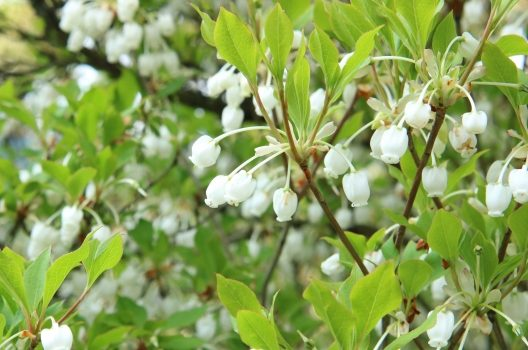 花を楽しむなら自然樹形がおすすめ