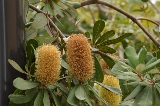 ブラシの木の特性