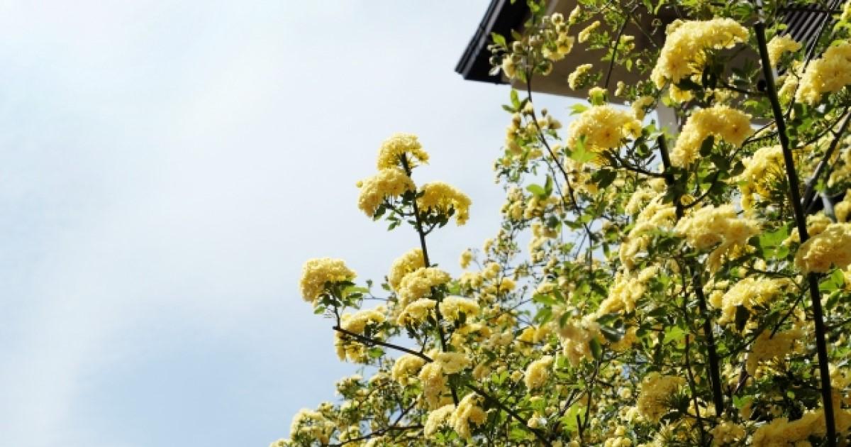 モッコウバラを剪定してたくさんの花を咲かせよう!剪定方法をご紹介