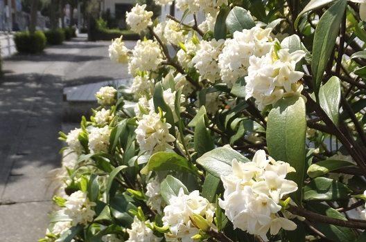 沈丁花の挿し木に適した時期