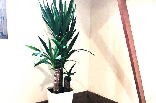幸福の木(ドラセナ)の剪定と育て方|初心者OK葉を楽しむ観葉植物