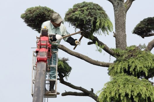 イチイの木の剪定方法を解説!育て方・特徴・病害虫対策も紹介します