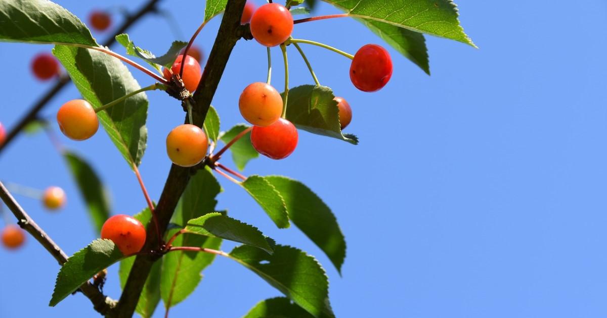 さくらんぼの木の剪定をしてみよう!実をつけるために大切なこと