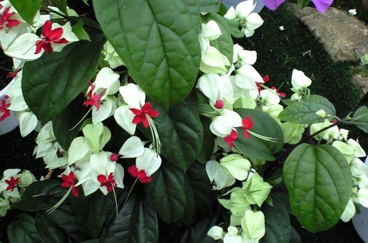 クラリンドウの剪定は花後に!ほのかな甘い香りが漂う花を楽しもう