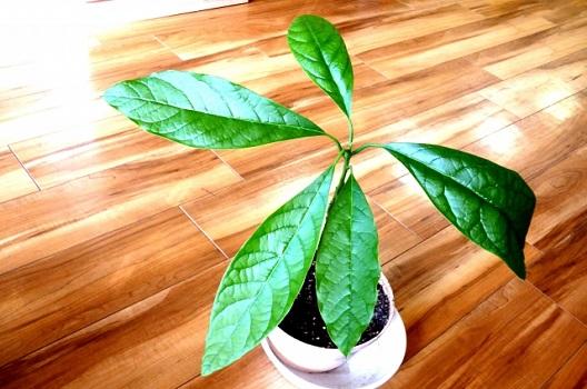 アボカドの木の特徴