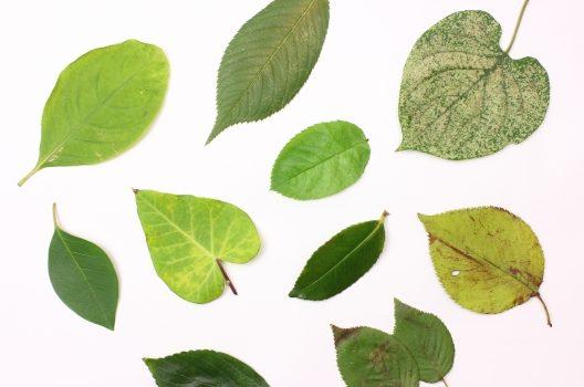 葉に白い斑点ができる