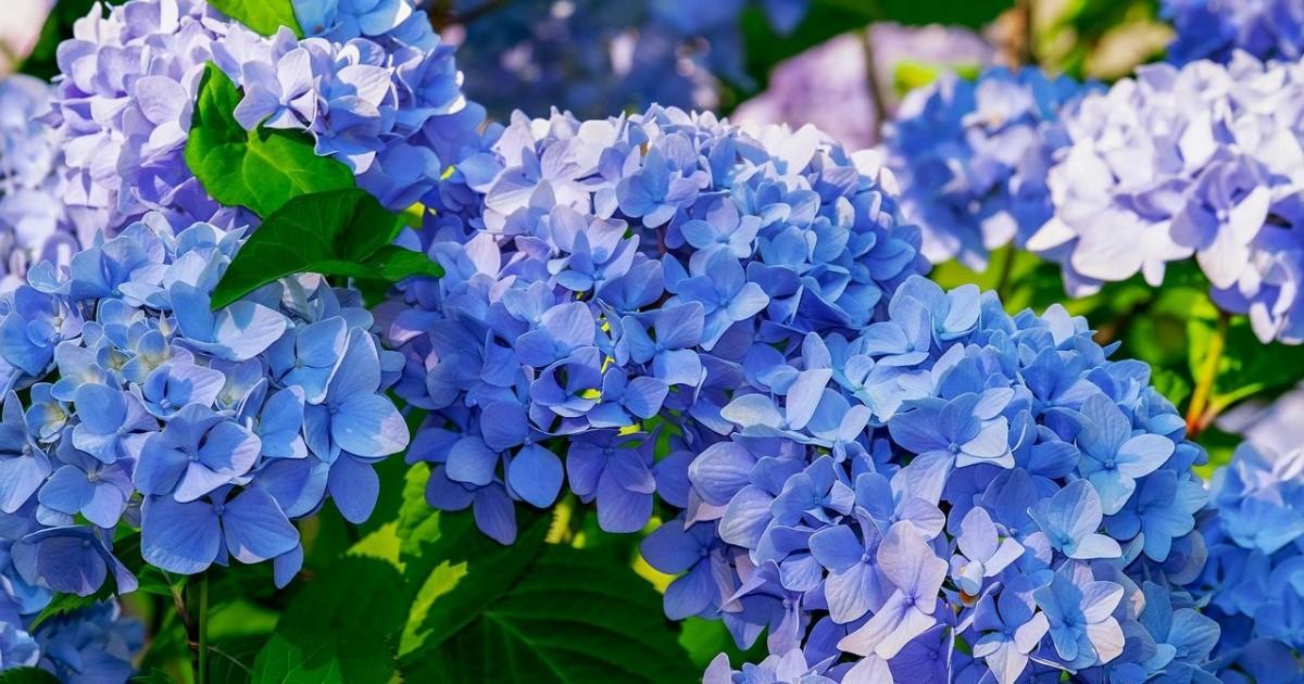 剪定 紫陽花 の 時期 の