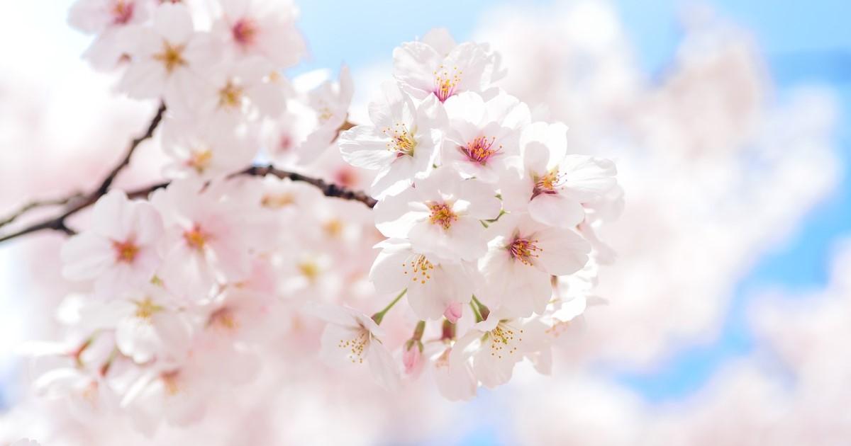桜の剪定って必要なの?正しい剪定知識や時期まとめ|病害虫の対処
