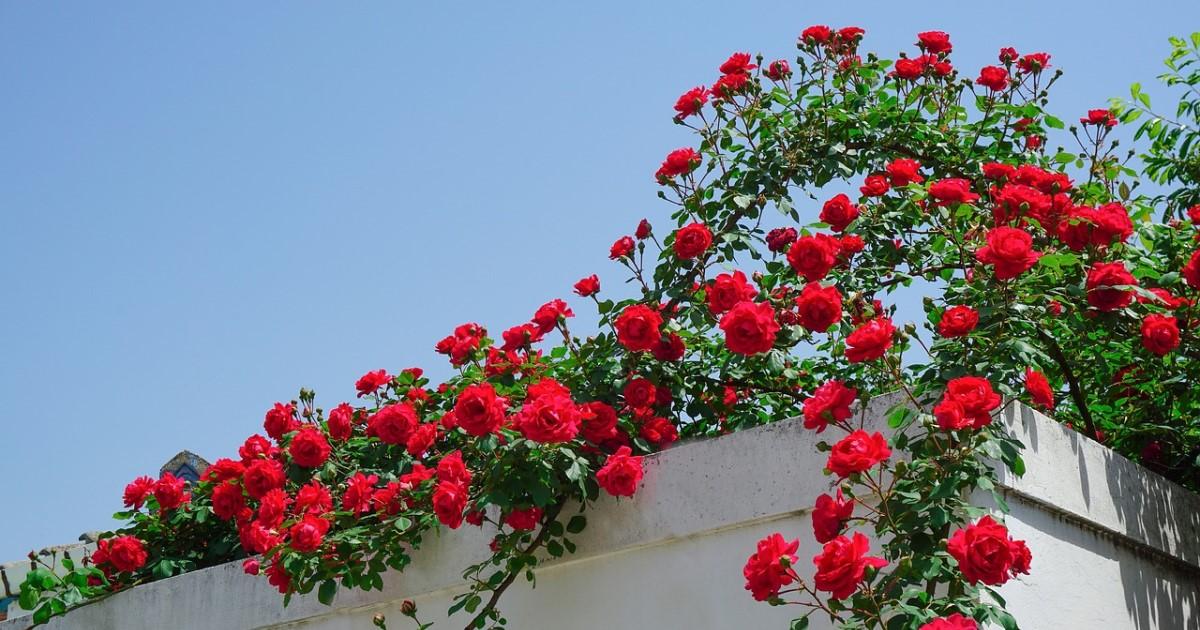 つるバラの剪定と誘引|手間がかかるけど楽しい!つるバラのお手入れ