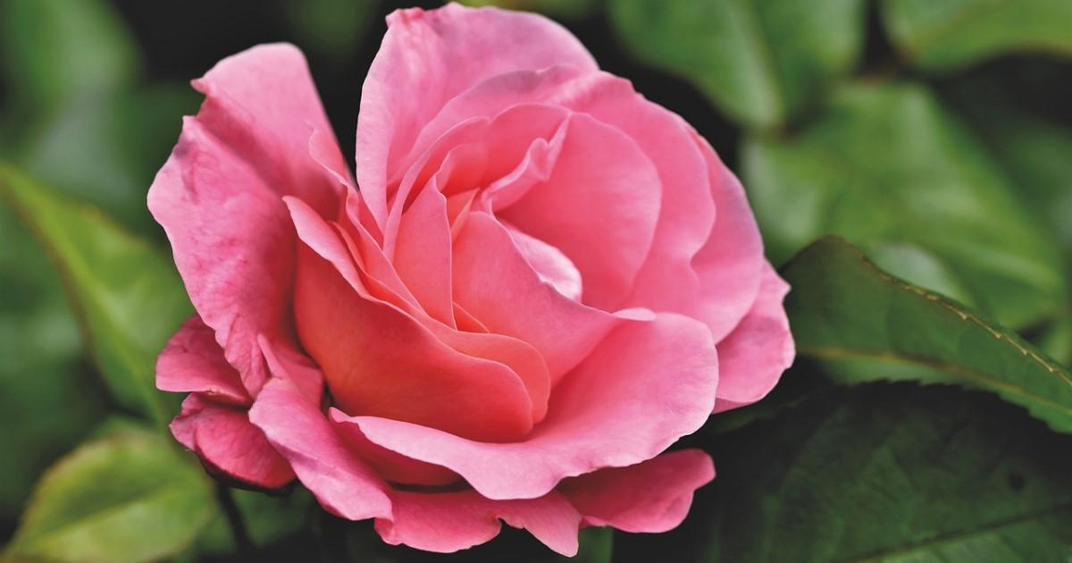 バラ剪定のコツを伝授!バラの寿命は剪定によって決まります