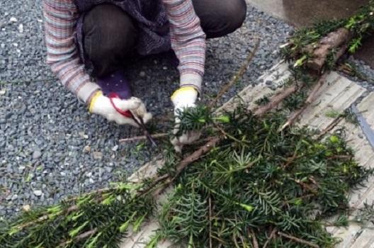 剪定ばさみを使った枝の切り方