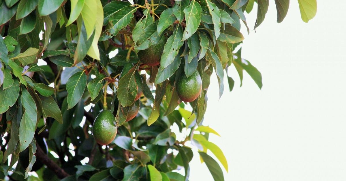 アボカド育成に剪定は必須!育て方のコツと木を管理していく方法