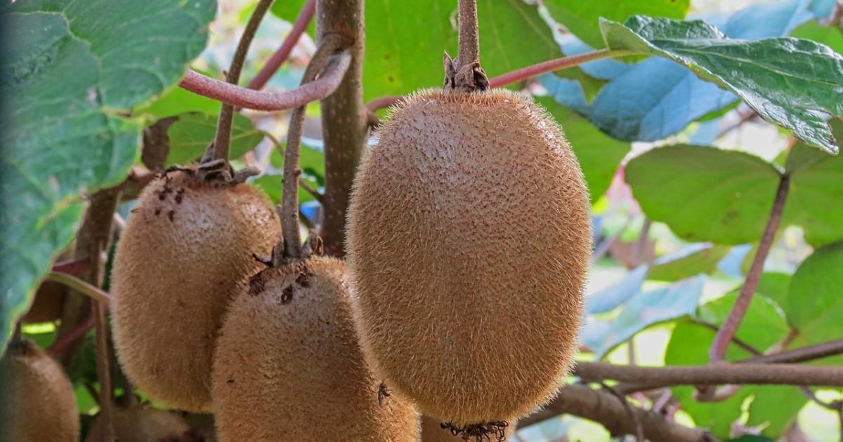 キウイの剪定方法と時期|枝の絡まりを防いで美味しい実を育てよう!