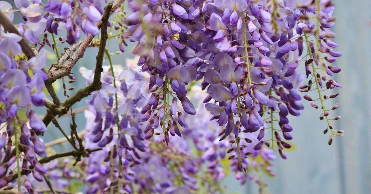 藤の剪定方法と花が咲かない原因|棚でも盆栽でも楽しみたい方へ