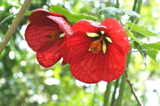 アブチロンの剪定と育て方|エキゾチックな花を楽しむために