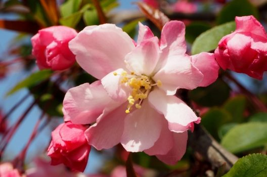 カイドウの剪定は秋がおすすめ!樹形・花のための手入れ方法を解説