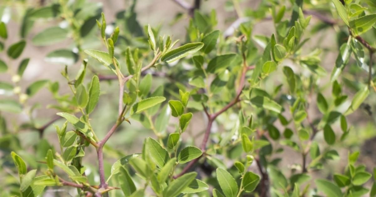 ナツメの木剪定は冬から春!必要な道具・時期・コツを解説します!