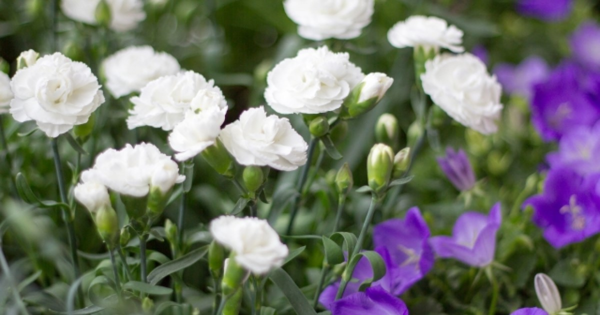 カーネーションの剪定はコツがある?お手入れ・花の楽しみ方もご紹介