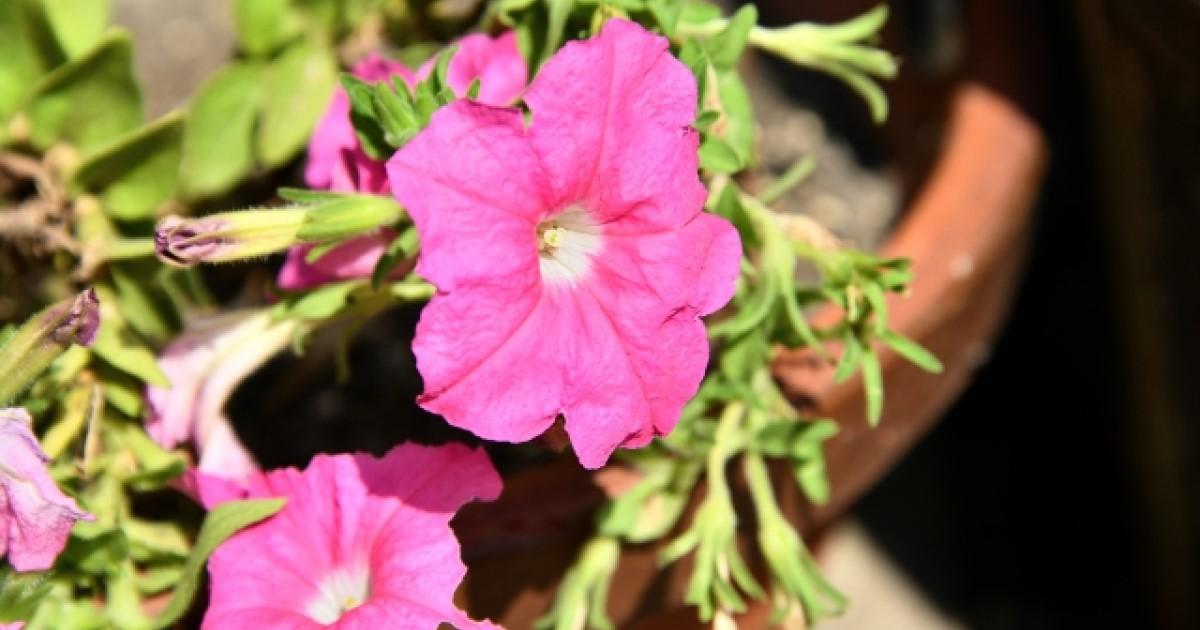 ペチュニアの剪定と手入れ【梅雨どき】に!花を咲かせるコツ大公開!